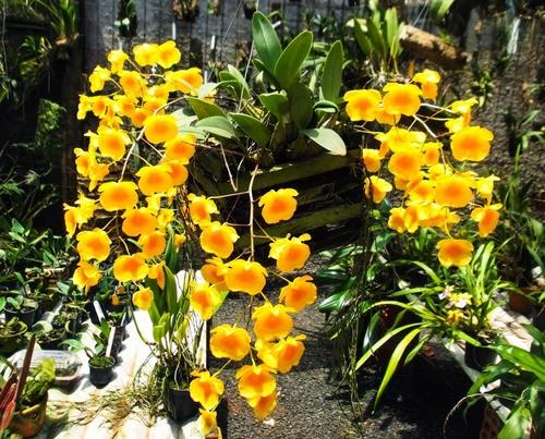 Orquidea Dendrobium Agregatum Adulta  - ORQUIDEA GARDEN