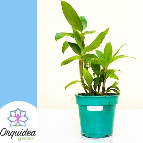 Muda De Orquidea Dendrobium Pendente Thyrsiflorum Adulta  - ORQUIDEA GARDEN
