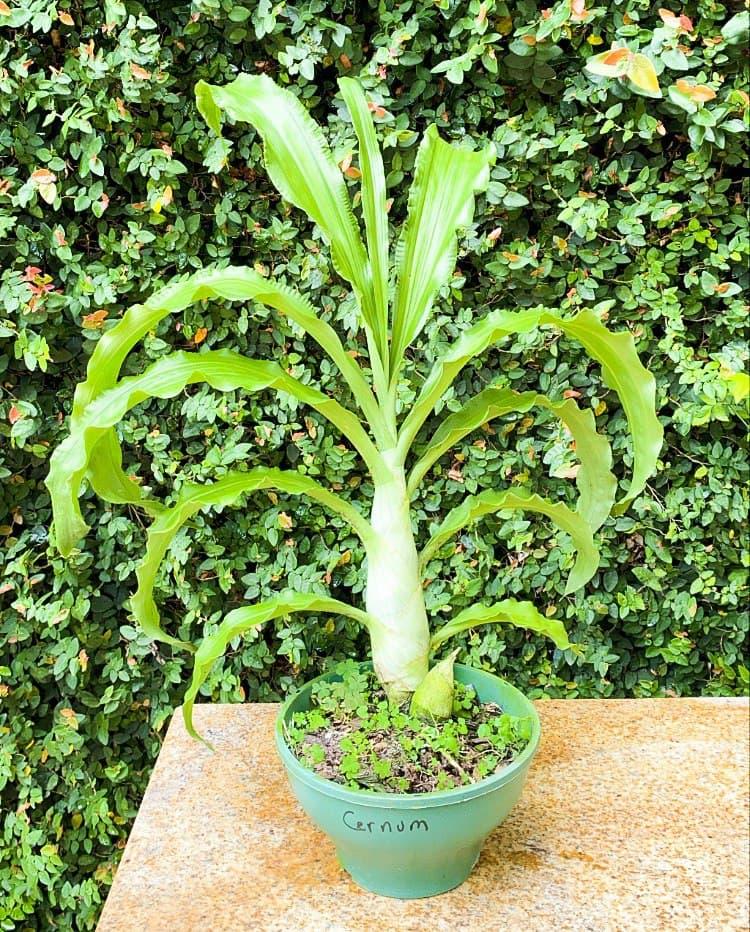 Orquidea Catasetum Cernuum  - ORQUIDEA GARDEN