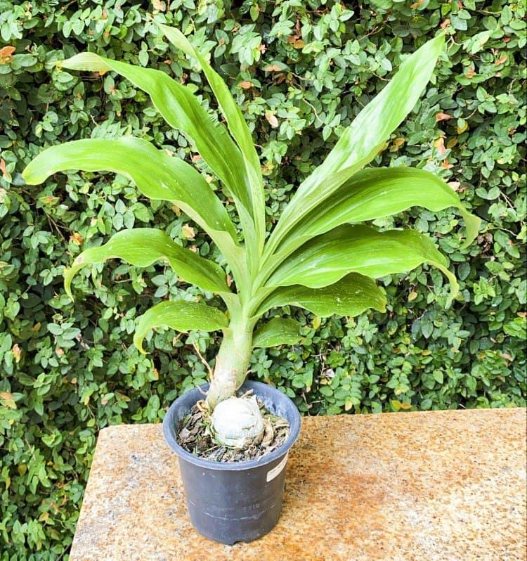 Orquídea Catasetum João Stivali  - ORQUIDEA GARDEN