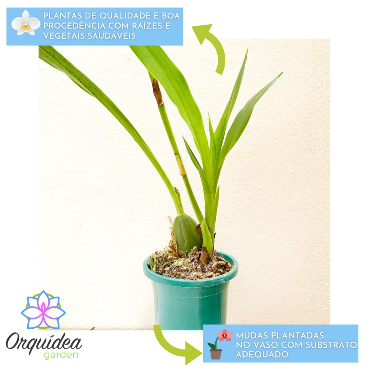 Orquídea Zygopetalum Adulta  - ORQUIDEA GARDEN