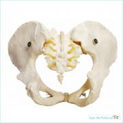 Esqueleto Pélvico Feminino