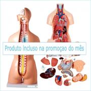 Torso Humano Bissexual 85 cm c/ 24 Partes e Abertura nas Costas
