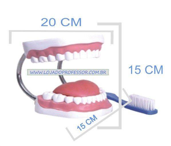 Arcada Dentária com Língua e Escova / Demonstração de higiene bucal