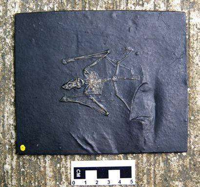 Paleochiropteryx Tupaiodon