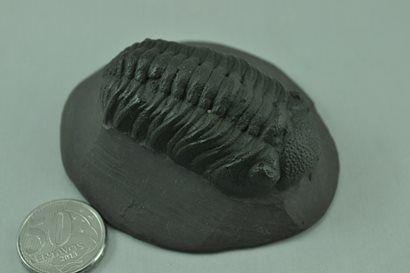 Trilobite Phacops
