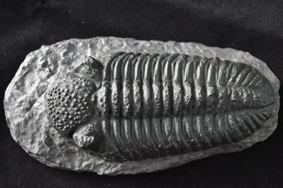 Trilobite Phacops Grande