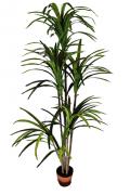 Árvore Dracena - 210cm Altura X 65cm Largura