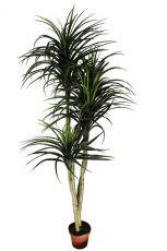 Árvore Dracena - 196cm Altura X 86cm Largura