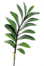 Folhagem de Orquídea - X15 - 60cm altura X 9cm Largura