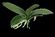 Folhagem de Orquídea - X5 - 26cm altura