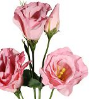lisianto rosa
