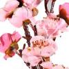 flor pessegueiro rosa