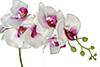 orquídea Phalaenopsis branco com roxo
