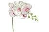 orquídea Phalaenopsis branco com rosa