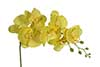 orquídea Phalaenopsis amarela