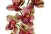 orquídea Cymbidium rosa com vermelho