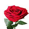 Rosa unitária - 51cm - Vermelho