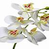 Flor de orquídea X5 - 72cm -  Branca com amarelo