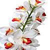 Flor de orquídea - X20 - 83cm -  Branca com vermelho