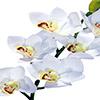 Flor de orquídea X6 - 68cm - Branca