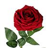 Rosa unitária  - 80cm  vermelha