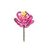 Suculenta - 12cm Altura X 10cm Largura - Rosa