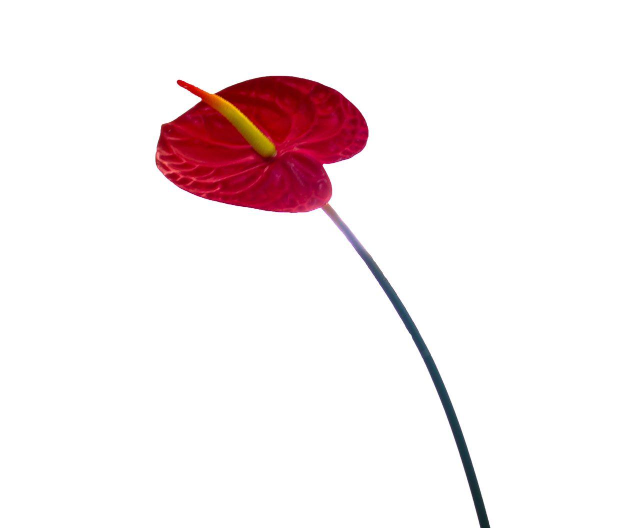 H.Anturio Silicone Vermelho 78Cm