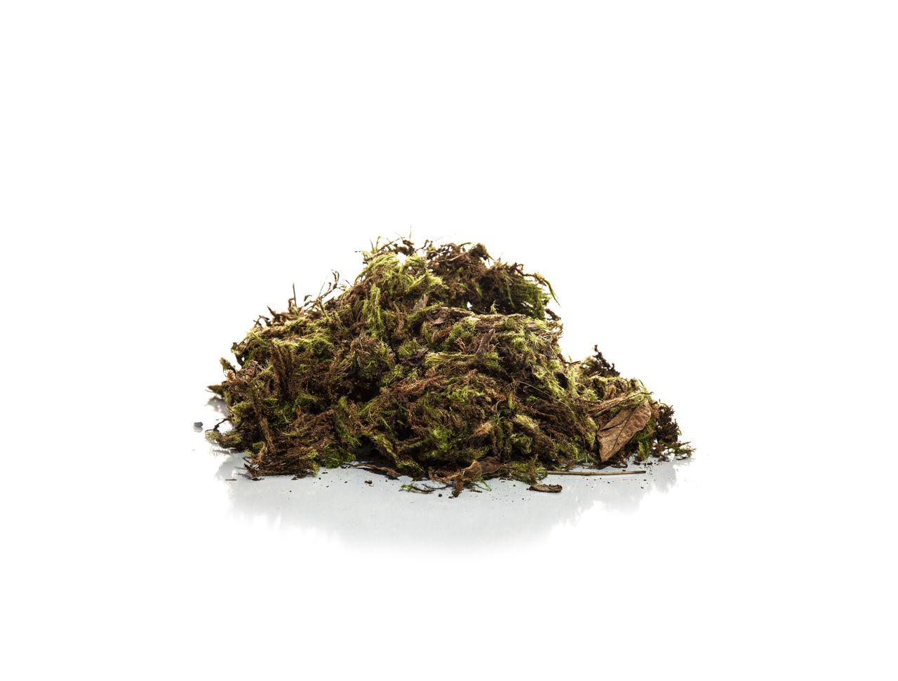 Musgo Verde - Médio - 100G