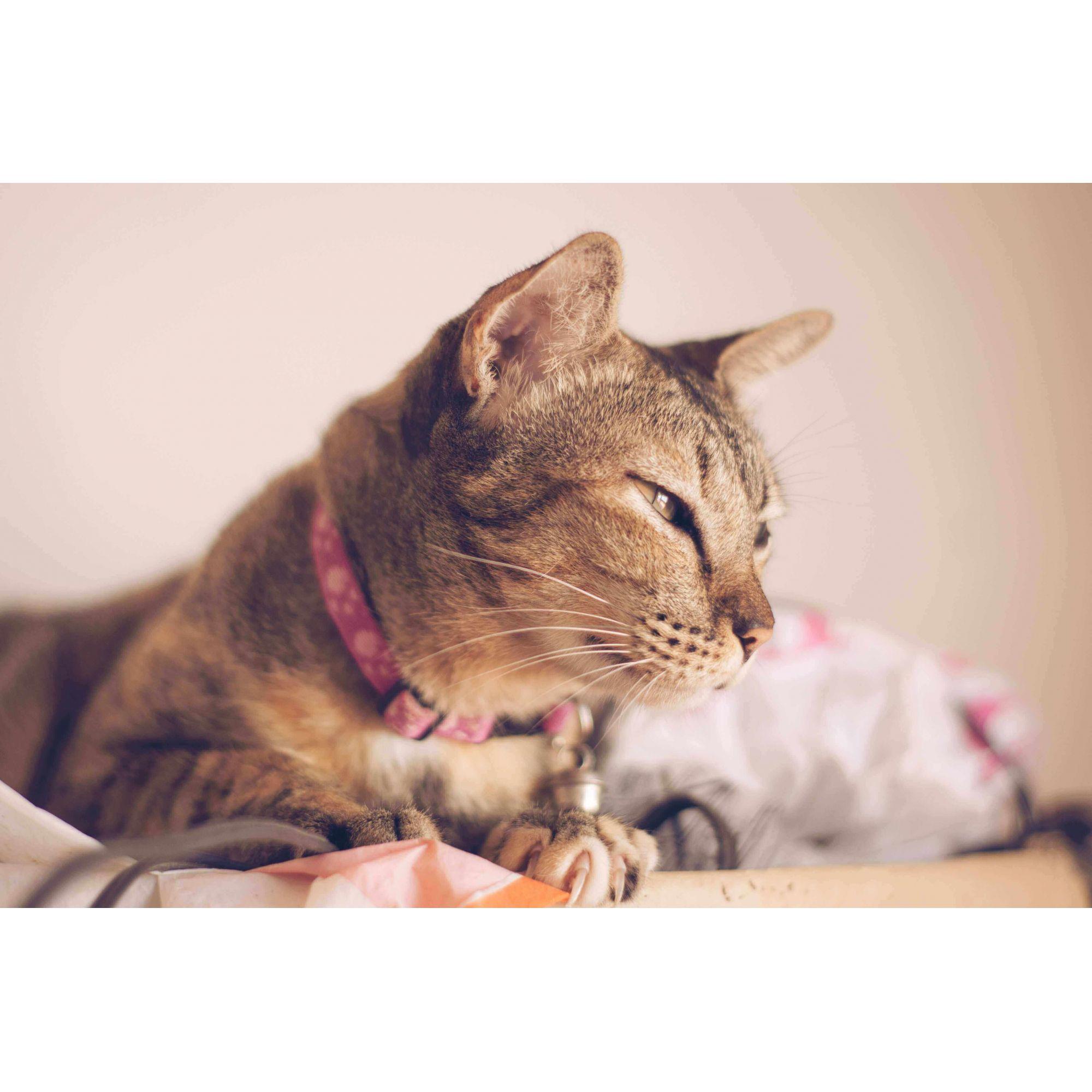 kit Joy Cat