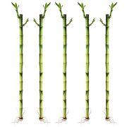 Kit com 5 Hastes de Bambu da Sorte (Médio)