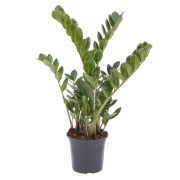 Muda de Zamioculca (Planta da Fortuna) Média