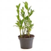 Muda de Zamioculca (Planta da Fortuna) Pequena