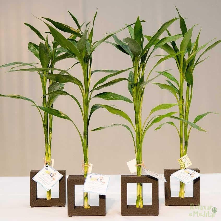 Bambu da Sorte com Vaso em Vidro e Suporte de Madeira (2 Hastes)