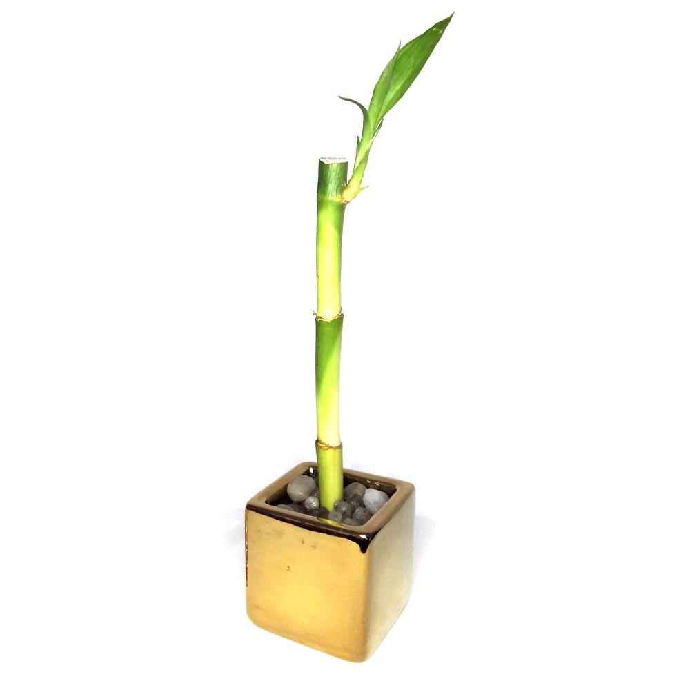 Bambu da Sorte em Vasinho com Pedras (Dourado)