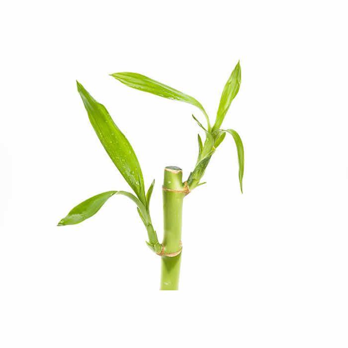 Haste de Bambu da Sorte (Pequeno)
