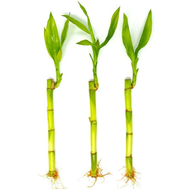 Kit com 3 Hastes de Bambu da Sorte (Pequeno)