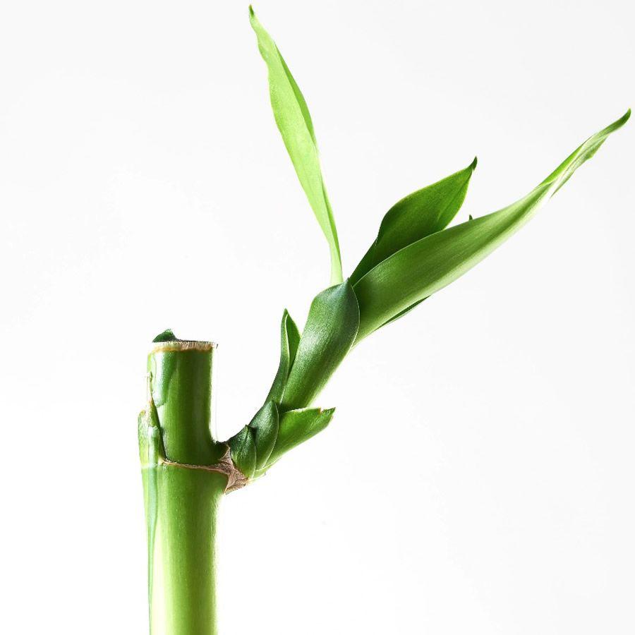 Kit com 3 Hastes de Bambu da Sorte (Médio)