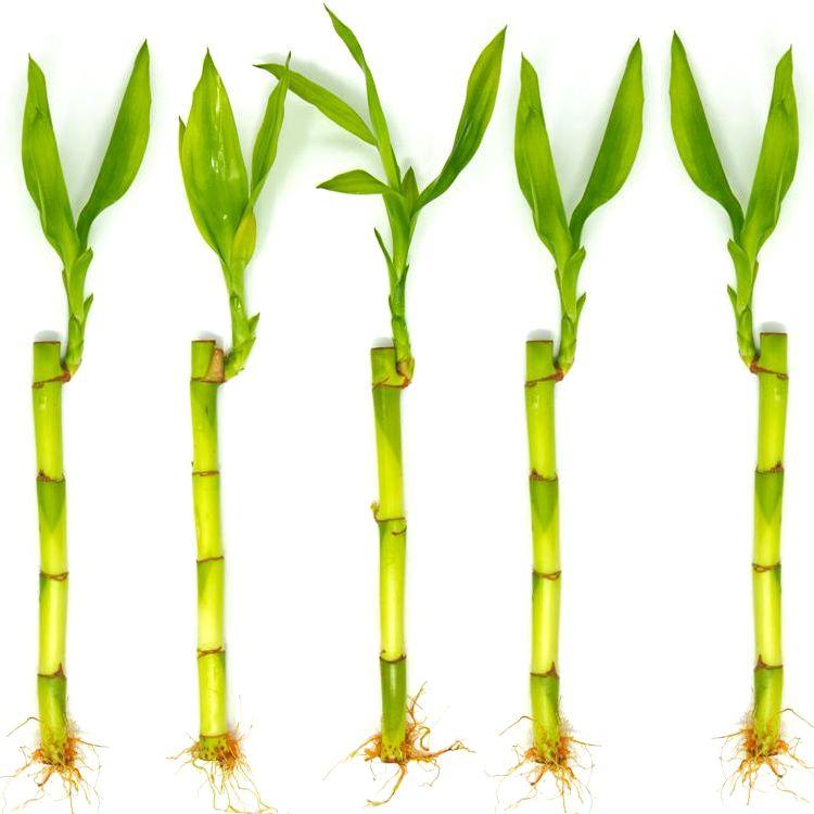 Kit com 5 Hastes de Bambu da Sorte (Pequeno)