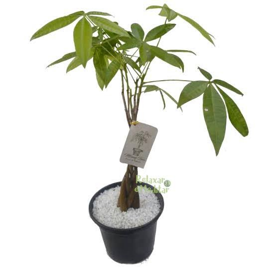 Muda de Árvore do Dinheiro (Média)