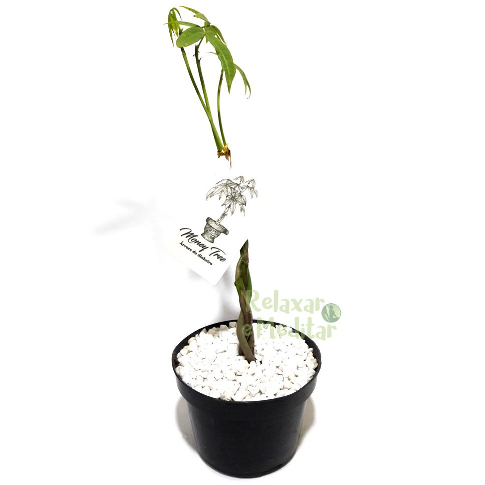 Muda de Árvore do Dinheiro (Pequena)