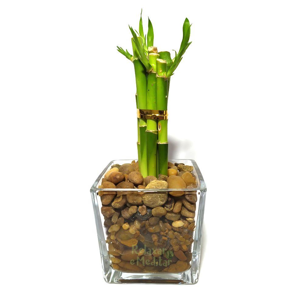 Vaso de Vidro com Seis Mudas de Bambu da Sorte (Médio)