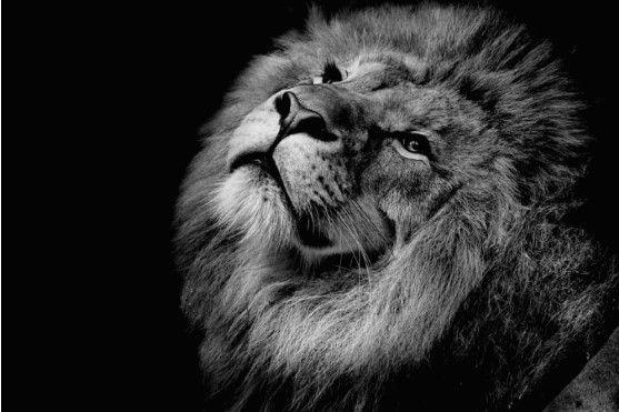 Tela Canvas Black and White Lion