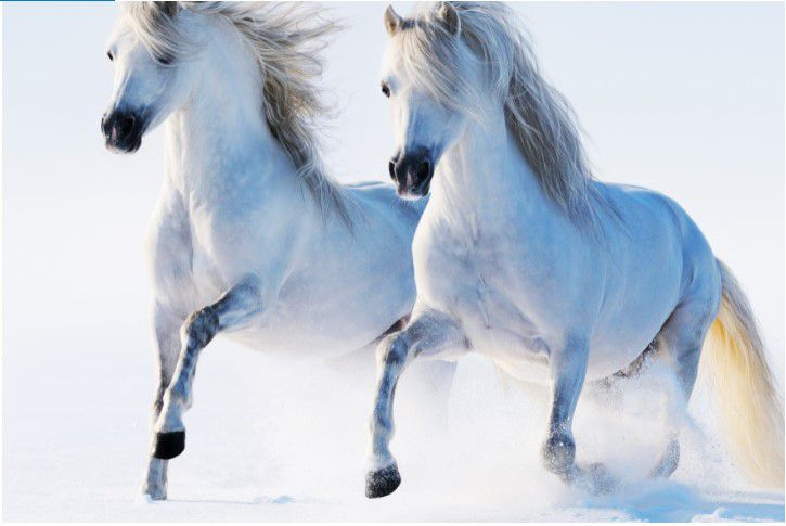 Tela Canvas White Horses