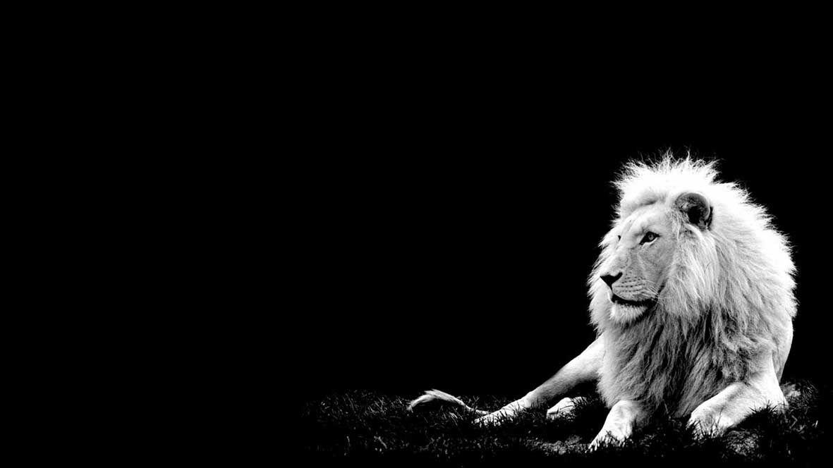 Tela Canvas White Lion