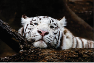 Tela Canvas White Tiger