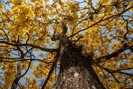 Tríptico Ipê Amarelo