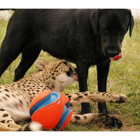 Bola Kick Fetch Chuck It para cães