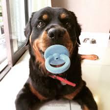 Brinquedo Recheável Chupeta Binkie KONG para cães filhotes