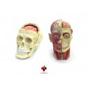 Kit anatomia humana - Crânio e Nervos e Cabeça